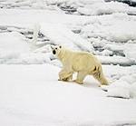 Polar Bear on Ice, Looking Back at Camera