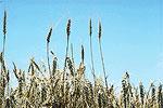 wheat-150