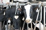 File Photo of U.S. Dairy Cows