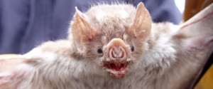 Vampire Bat file photo, adapted from image at cdc.gov