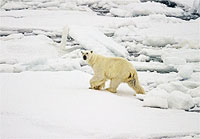 File Photo of Polar Bear on Ice and Snow with Water Nearby