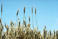 Field of Grain file photo