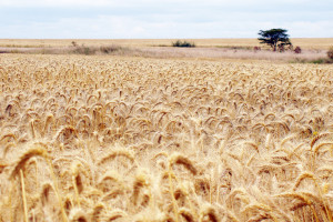 File Photo of Wheat Field in Kenya, adapted from image at usda.gov