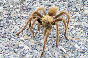 Tarantula file photo, adapted from image at usgs.gov