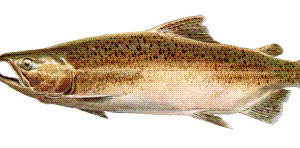 Spawning Salmon File Image, adapted from image at fws.gov