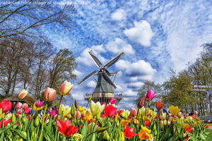 File Photo of Windmill and Tulip Field in Netherlands, adapted from image at studyabroad.state.gov