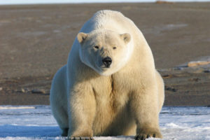 File Photo of Polar Bear on Snow with Bare Ground in the Background, adapted from image at nasa.gov with photo credit to U.S. Fish and Wildlife Service/Eric Regehr
