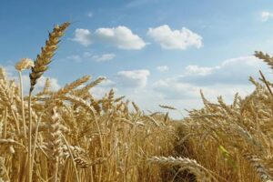 Wheat in Field, adapted from image at usda.gov