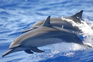 File Photo of Dolphins Swimming and Leaping, adapted from image at noaa.gov