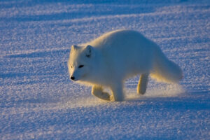 File Photo of Arctic Fox Running Across Snow, adapted from image at USGS.gov, with photo credit to Mike Lockart and USGS